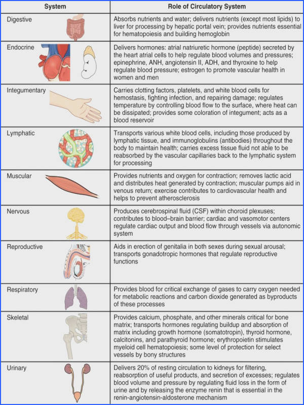 Organ System Overview Worksheet Circulatory System Overview – Anatomy Body Charts