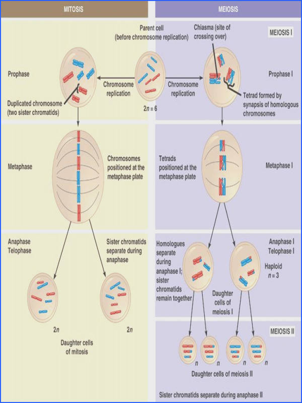 Mitosis and Meiosis pared