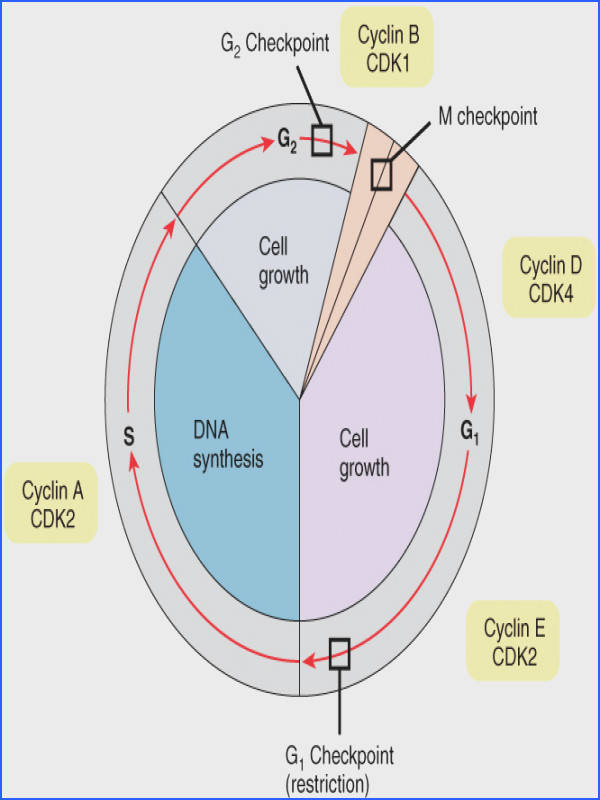 This image shows the different stages of the cell cycle along with the checkpoints between them