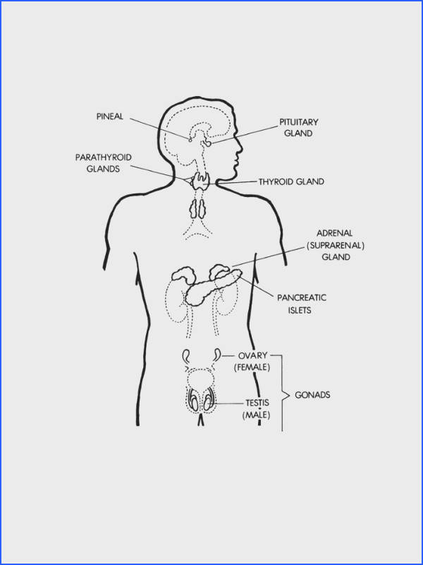 endocrine system Google Search