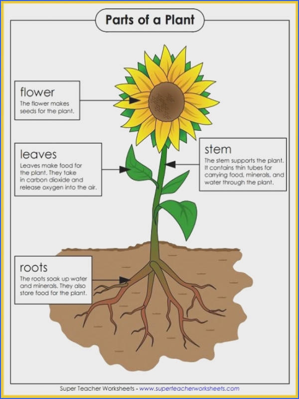 Use this colorful poster in your classroom to teach the parts of a plant Super Teacher Worksheets has many plant worksheets including resources for parts