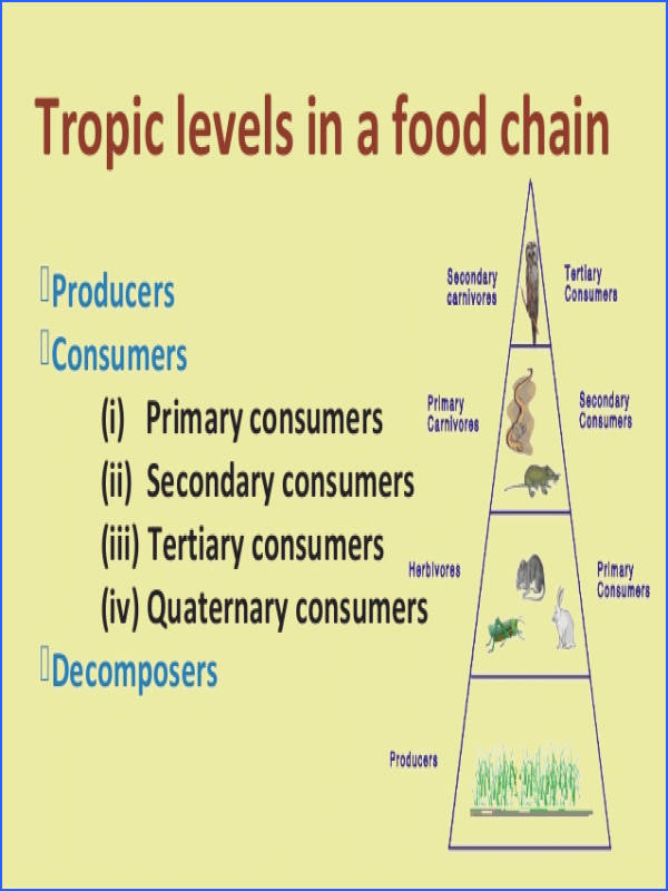 View r Food Chain food Web And Ecological Pyramids