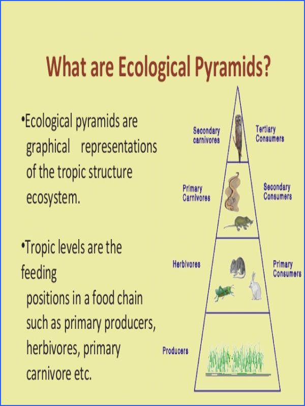 Food Chain food Web And Ecological Pyramids