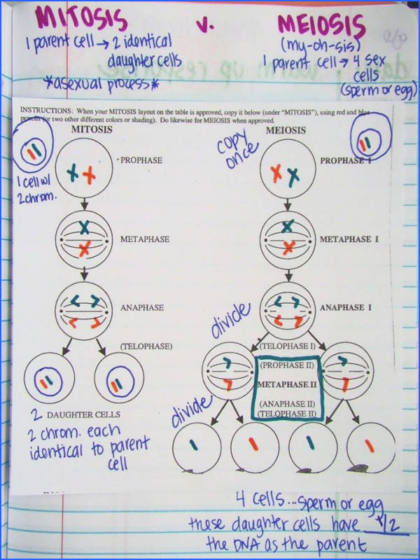 mitosis vs meiosis in notebook