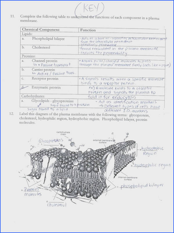 Download Acumen Cell Membrane And Transport Worksheet Aaa Format Paper Urakan