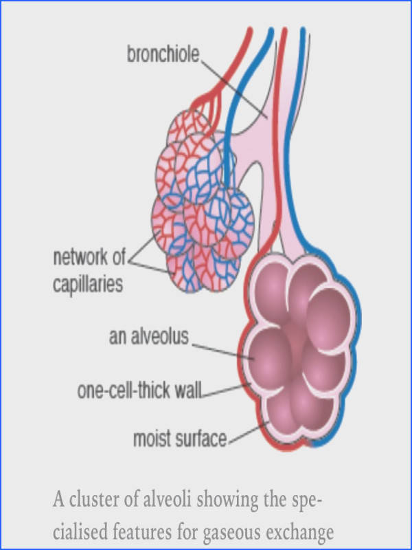 Alveoli air sacs massively increase the surface area of the lungs for diffusion