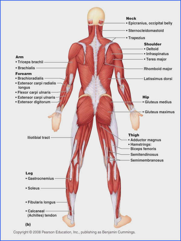 anatomy of the muscle system