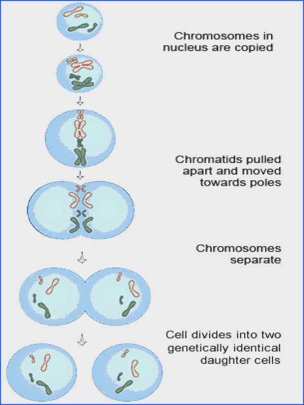 Diagram of the stages of mitosis