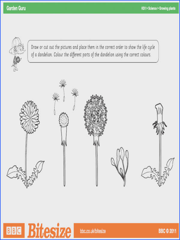 the different stages of the lifecycle of a dandelion · Worksheets ColoringCyclingPlantSample