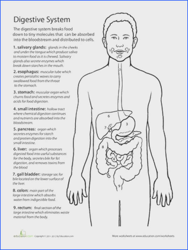 Body Systems Worksheets For Middle School