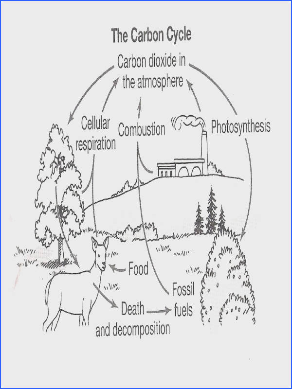 Carbon Cycle Worksheets Worksheets for all Download and Worksheets
