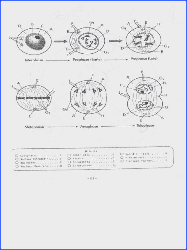Cell Cycle And Mitosis Worksheet Answers Free Worksheets Library Gallery Image size 800 x 600 px source newburyparkhighschool