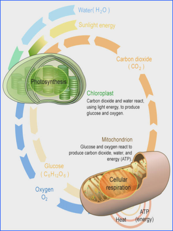 Cellular respiration and photosynthesis are direct opposite reactions