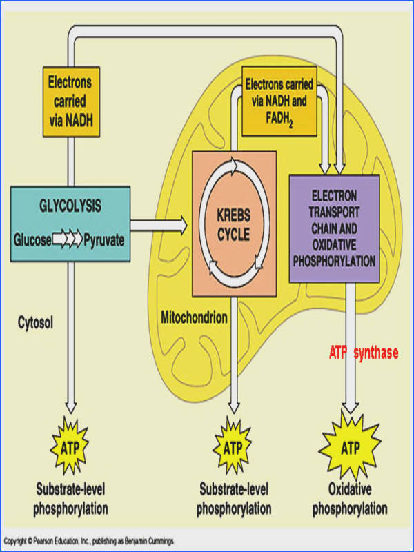 c9x6cell respiration