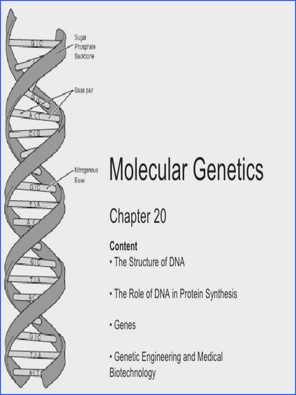 Chapter 20 Molecular Genetics Content • The Structure of DNA • The Role of DNA in