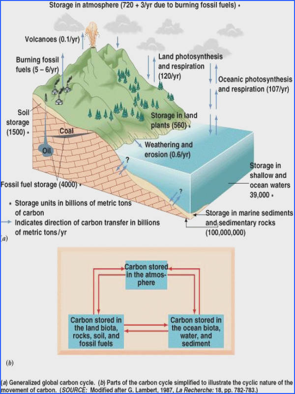 Basic Carbon cycle