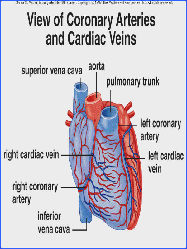 Coronary Circulation Diagram