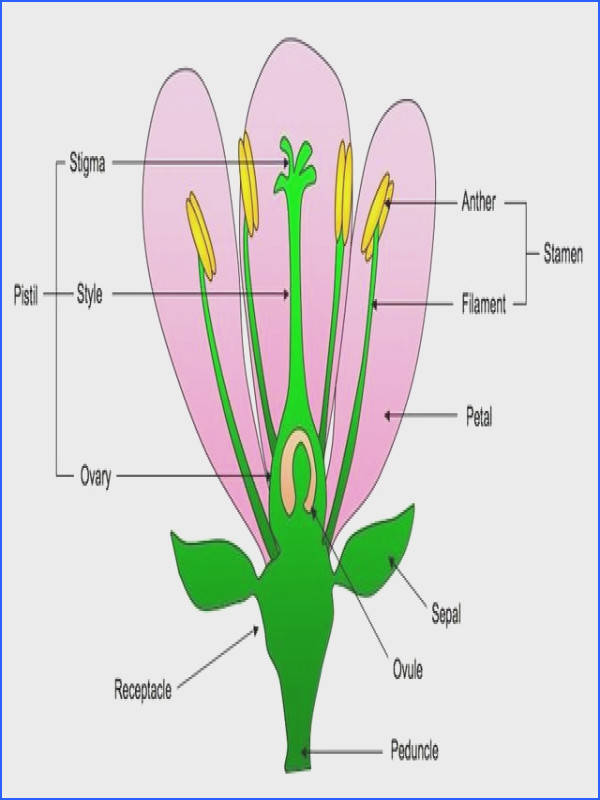 diagram of a flower labeled
