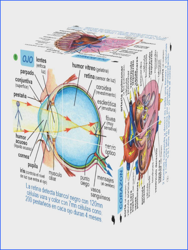 Diagram the Human Body Systems Best Spanish Human Body Systems and Statistics Cubebook