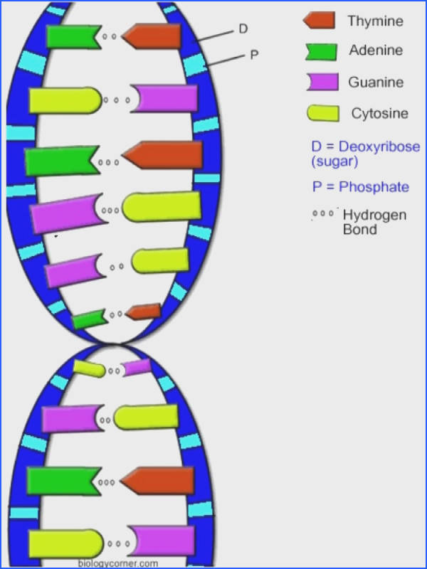 also DNA   The Double Helix  Coloring Worksheet likewise the double helix coloring worksheet answers   Coloringsite co in addition The Double Helix Coloring Worksheet Key Structure 1 Answer as well Barbie Magic Pegasus 11   Free Printable Coloring Pages for You also Dna Replication Coloring Worksheet Key ly Worksheet Dna the besides Dna Double Helix Worksheet   Mychaume besides Dna The Double Helix Coloring Worksheet Answer Key Replication in addition Double Helix Coloring Worksheet Answer Key The Answers As Well moreover Dna Coloring Worksheet The Double Helix Coloring Worksheet Answers besides  moreover  together with Double Helix Coloring Worksheet   Free Printables Worksheet also  further  further Dna the Double Helix Worksheet Unique Messenger Rna Coloring. on double helix coloring worksheet key