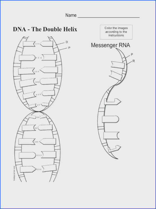 The Double Helix Coloring Worksheet Dna Coloring Sheet Activity Worksheet Answ Diagram Dna Double
