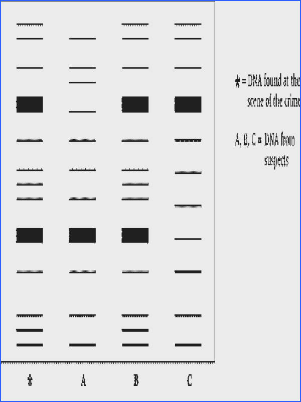 Dna fingerprinting worksheet biology corner intrepidpath electropsis fingerprint selective breeding