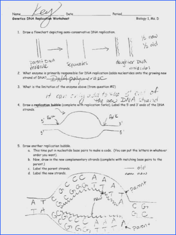 Genetics DNA Replication Worksheet ANSWER KEY