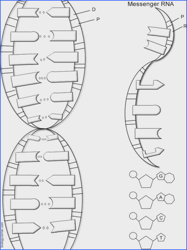 dna structure worksheet dna the double helix coloring worksheet free