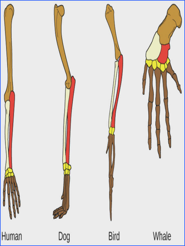 The similar bone arrangement of the human bird and whale forelimb is a structural homology Structural homologies indicate a shared mon ancestor