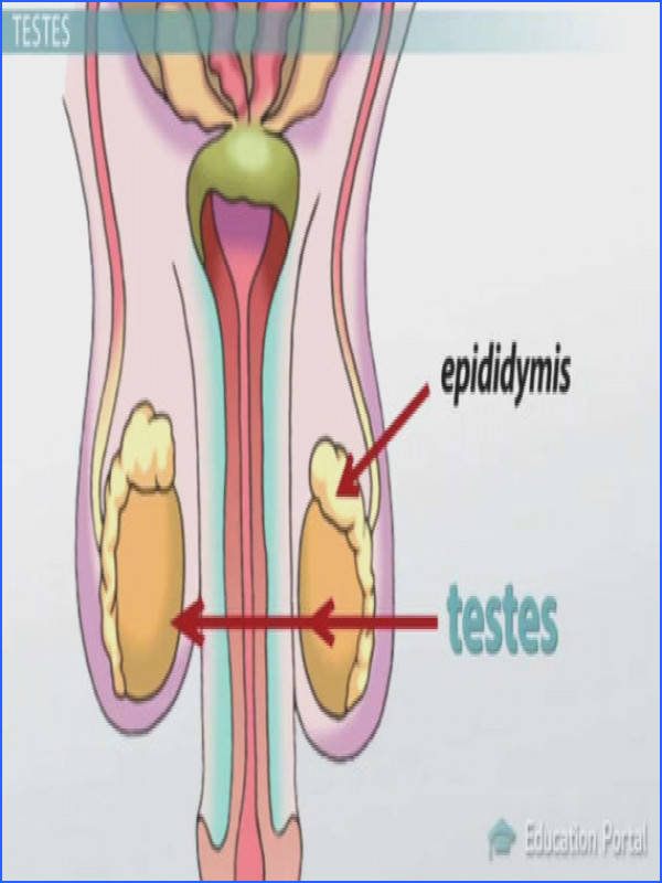 Functions Male Reproductive System Male Reproductive System Functions Organs And Anatomy Youtube