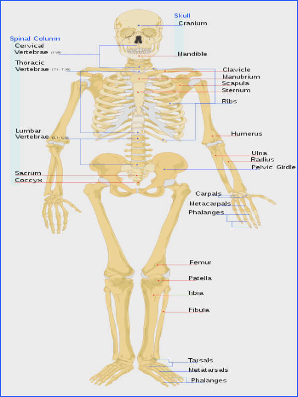 how many bones are in the human body 206 how many rib bones