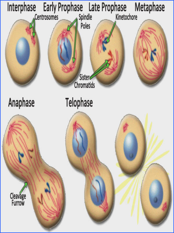Image of mitosis in an animal cell