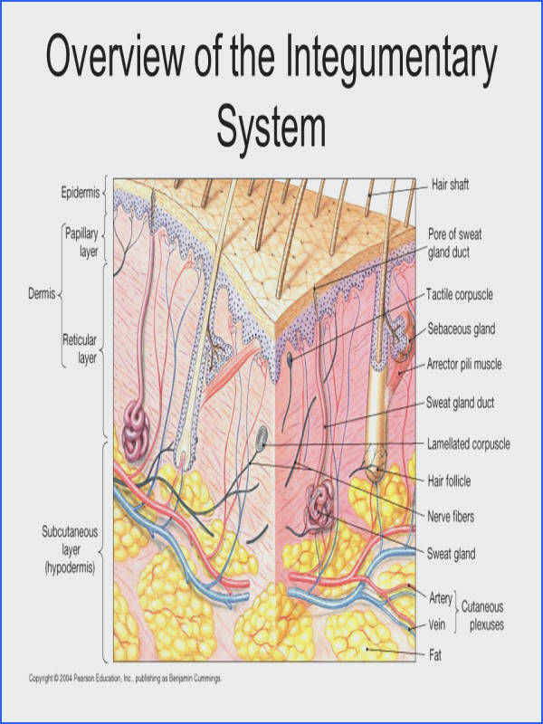 Lab 7 Integumentary System Overview of the Integumentary System