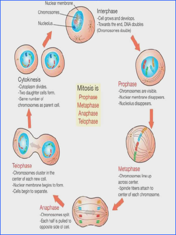 Labeled Diagram The Cell Cycle