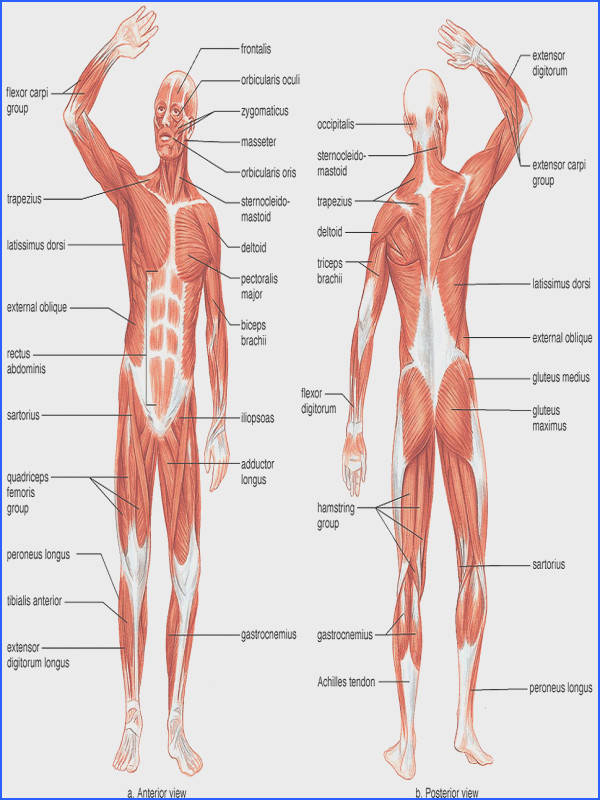 Major Muscles on the Front of the Body Yoga Pain Management Pinterest