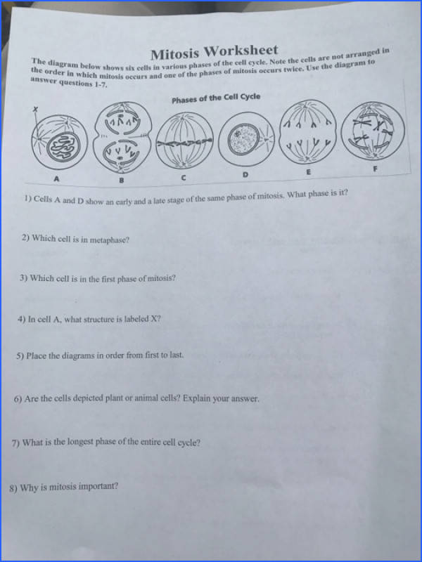 Mitosis Worksheet Phases The Cell Cycle