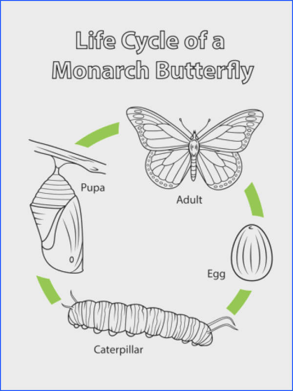 Monarch Butterfly Life Cycle Coloring Page Stunning Life Cycle A Monarch Butterfly Coloring Page Free