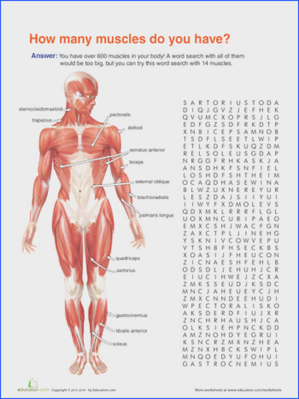 Human body systems · Worksheets Muscle Anatomy