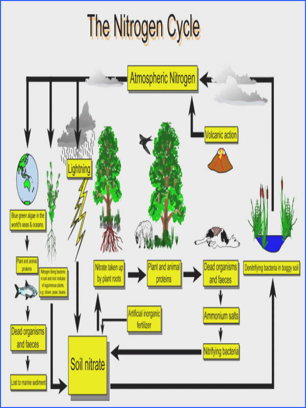 "Nitrogen cycle worksheet & Free Nitrogen Cycle Biology Homework Worksheet""""sc"" 1""st"" ""Teachers Pay Teachers"