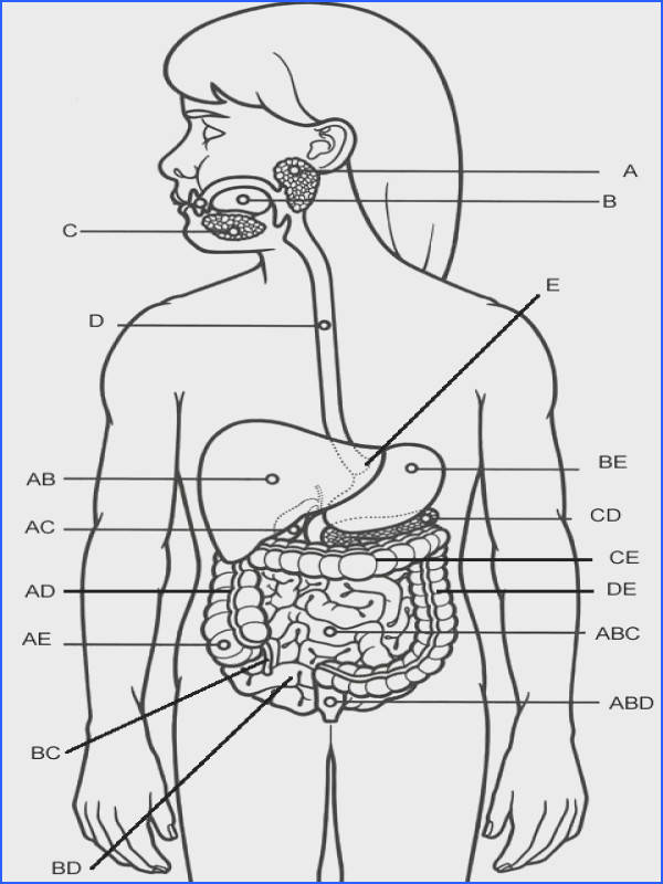 Print ready worksheet picture of the organs and accessory structures of the digestive system The site I actually wanted to pin has TONS of links…