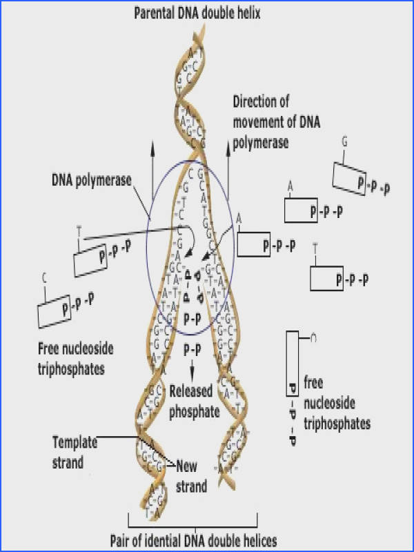 structure of dna double helix replication