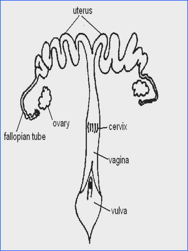 Female reproductive system labelled JPG