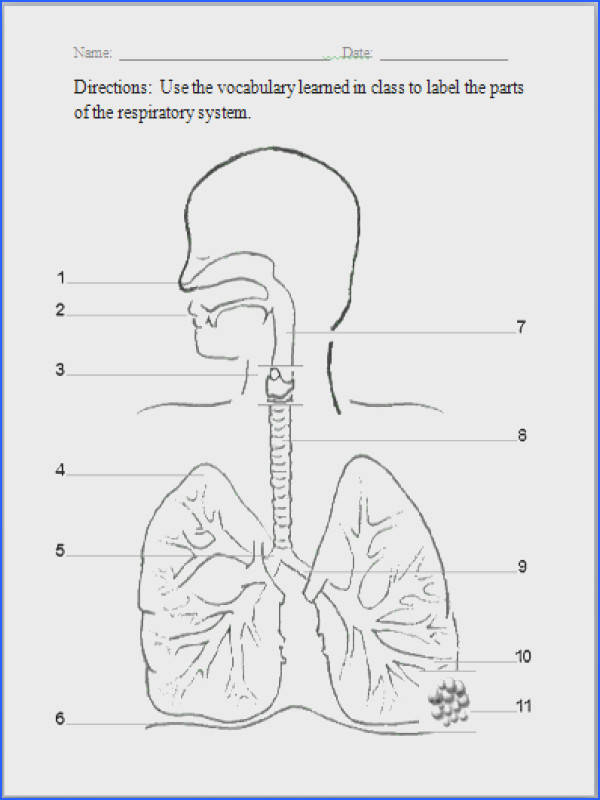 Respiratory System Image Below the Respiratory System Worksheet
