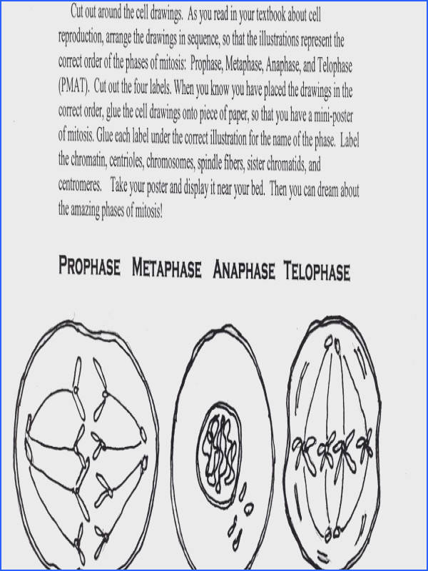 Science Tutor Phases of Mitosis Activity Worksheet