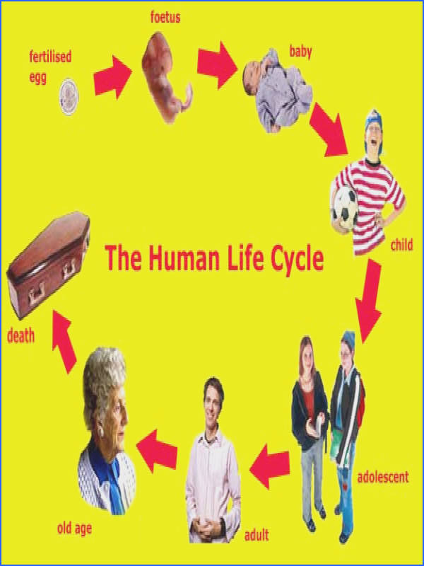 Showing Stages A Human Life Cycle