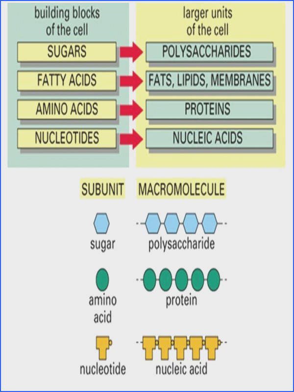 simple diagram of macromolecules proteins carbohydrates lipids and nucleic acids