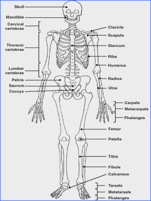Skeletal System Crossword with Diagram Editable Image Below Label the Skeleton Worksheet