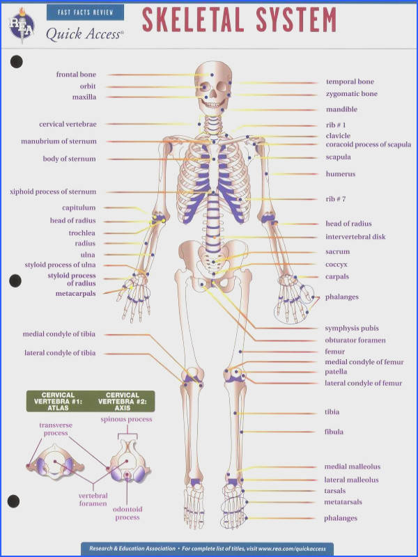 Skeletal System Worksheet Middle School Skeletal Best Free Printable Worksheets