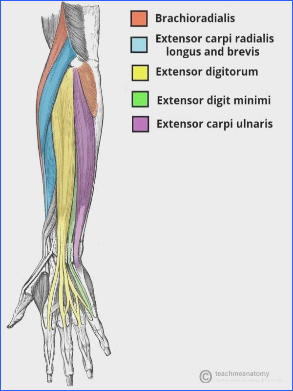 Superficial Extensor Muscles of Hand and Wrist anatomy Pinterest