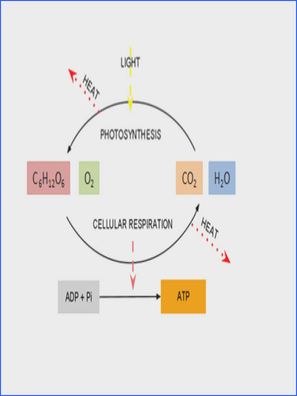Cellular respiration and photosynthesis are interdependent The glucose and oxygen produced by photosynthesis are used up in cellular respiration
